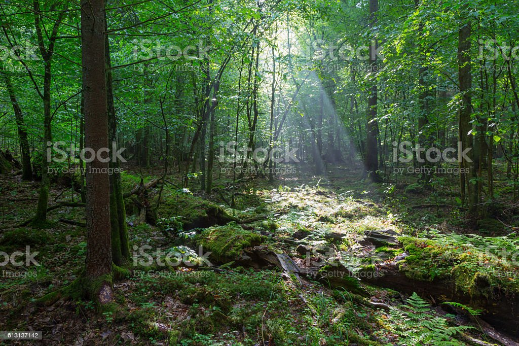 Misty deciduous stand before sunset stock photo