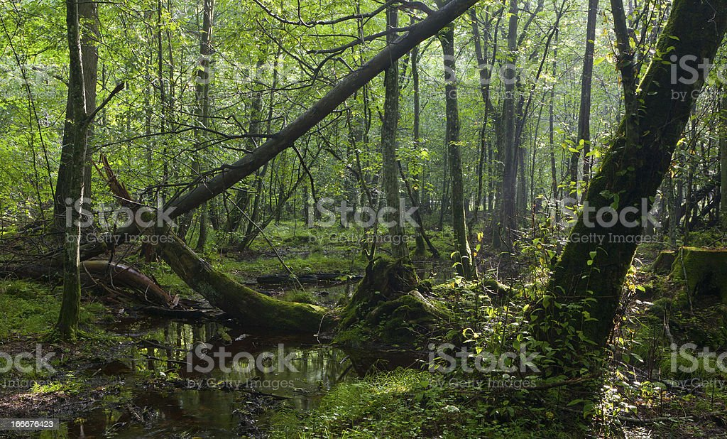 Misty deciduous stand in morning royalty-free stock photo