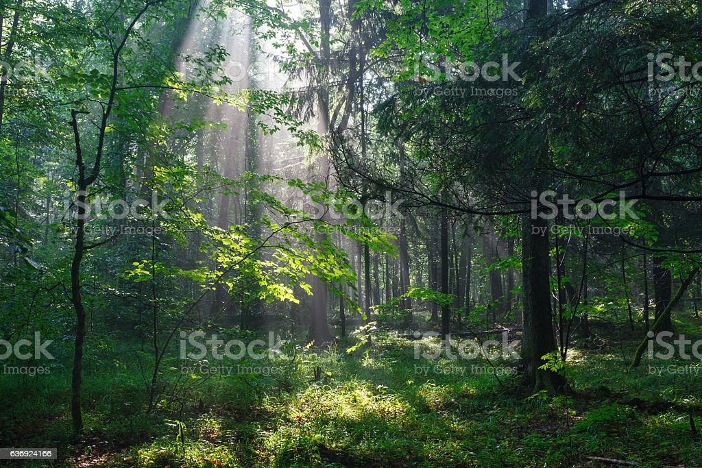 Misty deciduous stand in morning stock photo