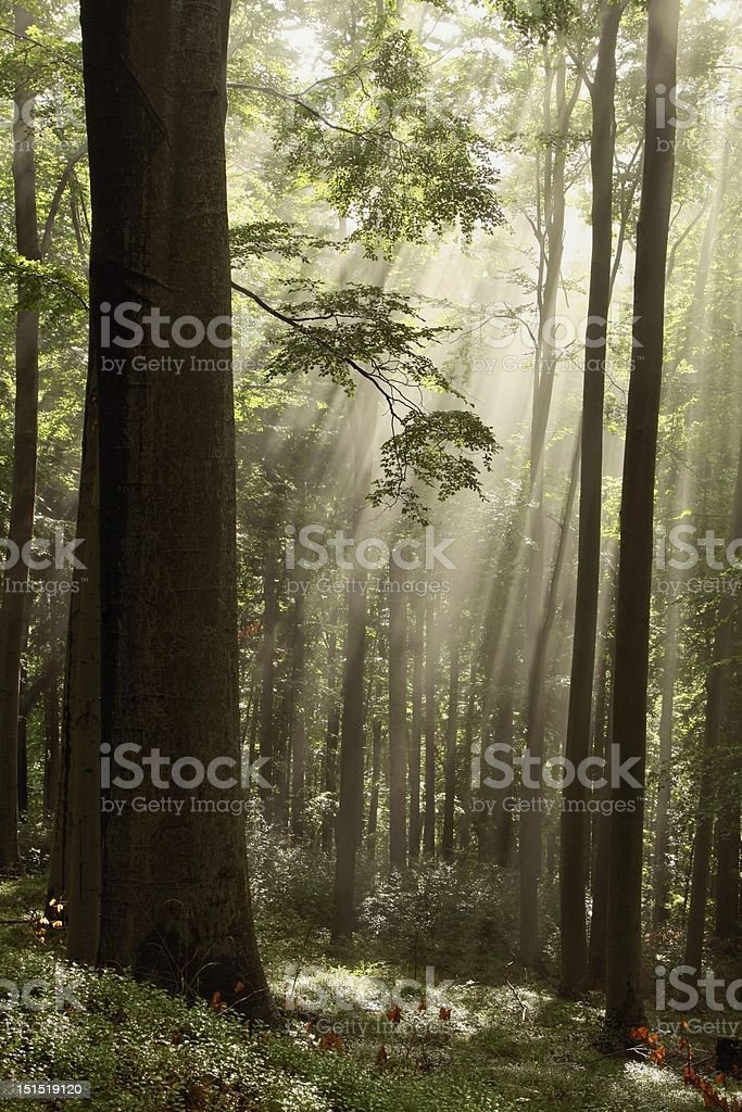 Misty forest at dawn royalty-free stock photo