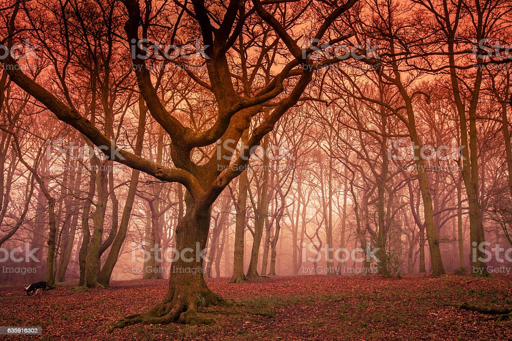 Misty forest in autumn stock photo
