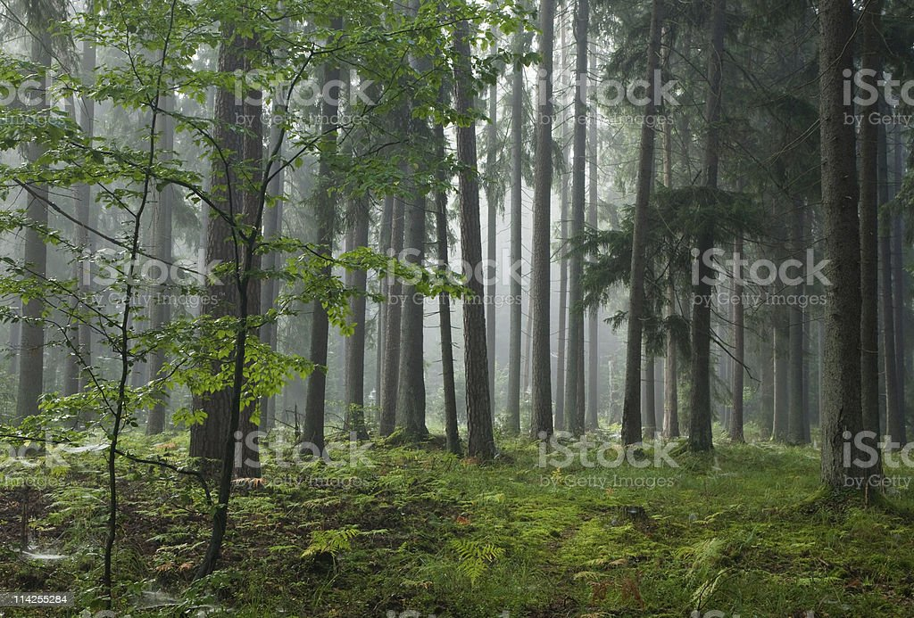 Misty late summer mainly coniferous stand royalty-free stock photo