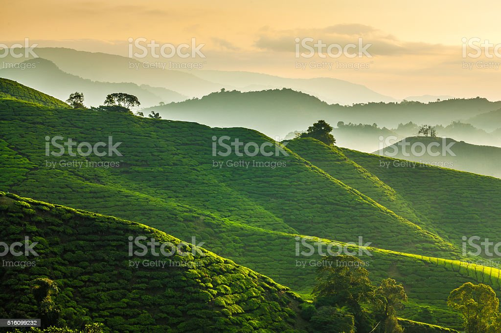 Misty morning at Cameron Highlands tea plantation overlooking layered hills stock photo