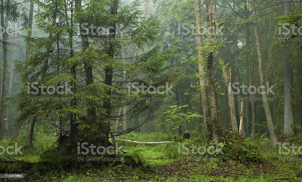 Misty morning in alder-carr stand stock photo