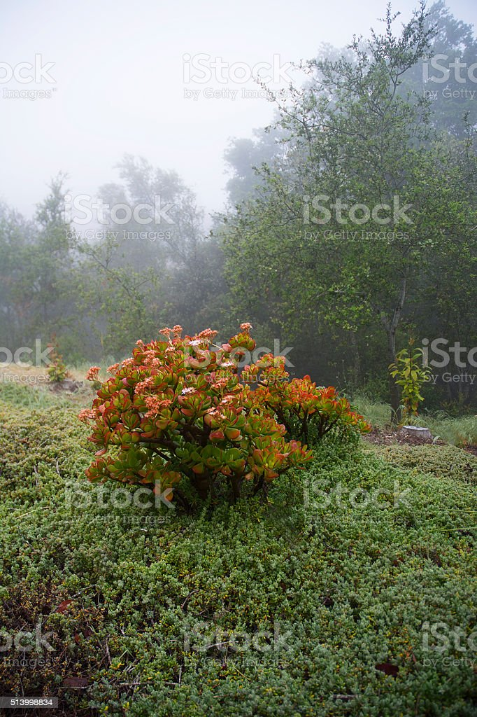 Misty Morning Jade And Iceplant Ground Cover stock photo