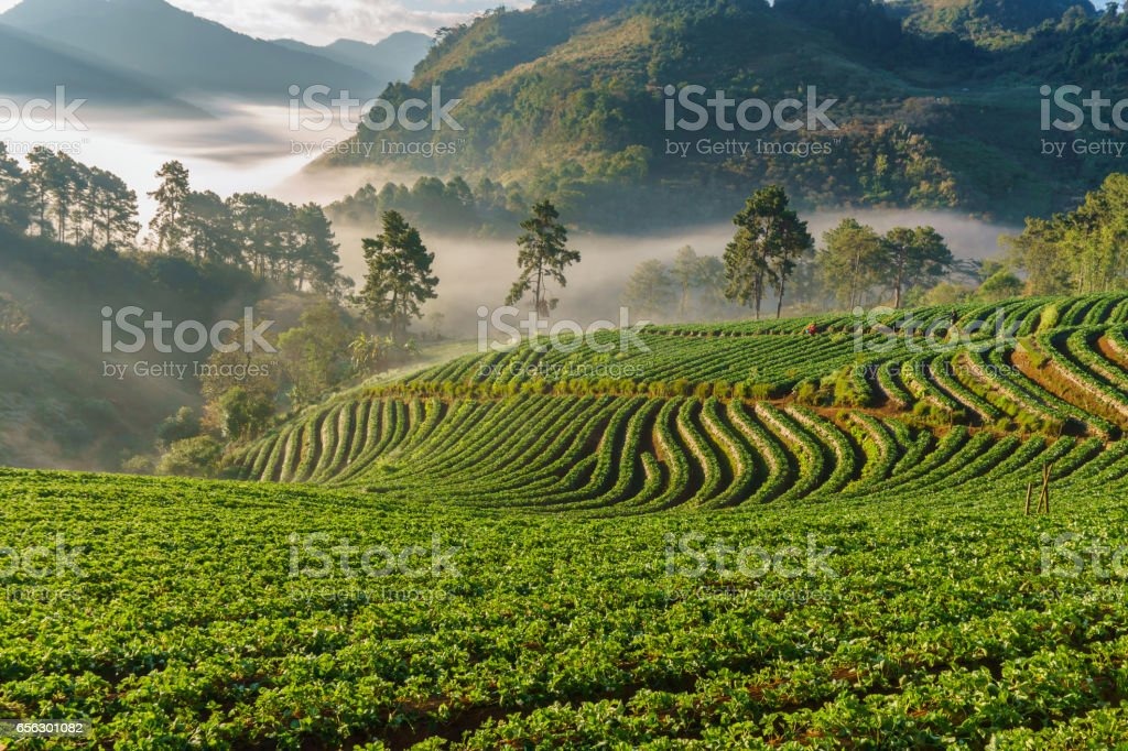 Misty morning sunrise in strawberry garden, View of Morning Mist at doi angkhang Mountain, Chiang Mai, Thailand stock photo