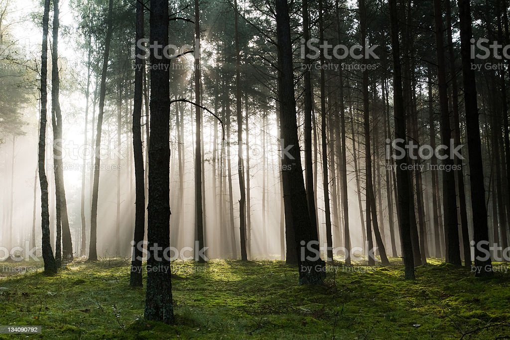 Misty old foggy forest royalty-free stock photo