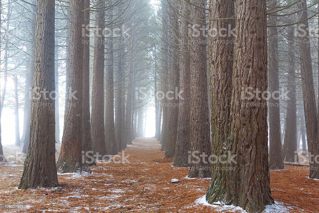 misty pine tree forest royalty-free stock photo