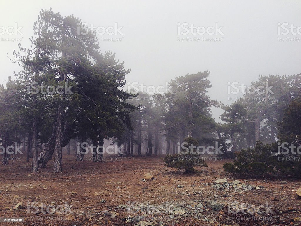 Misty pine trees in the Troodos Mountains of Cyprus stock photo