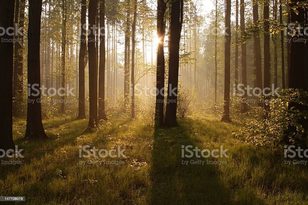 Misty spring forest at dawn royalty-free stock photo