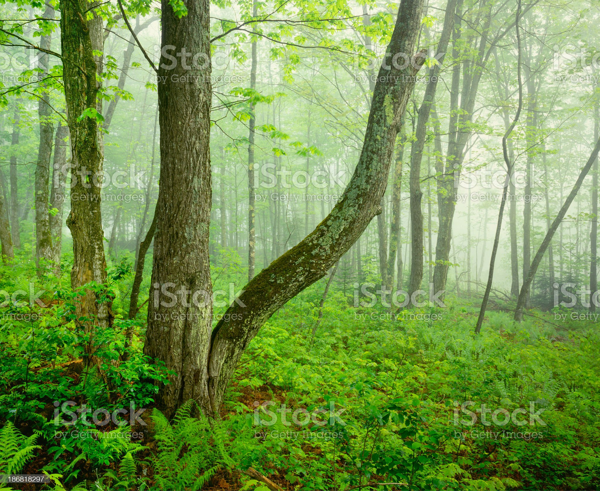 Misty Spring Forest In Vermont royalty-free stock photo