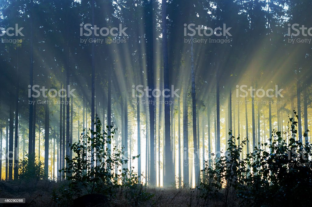 Misty spruce forest in the morning stock photo