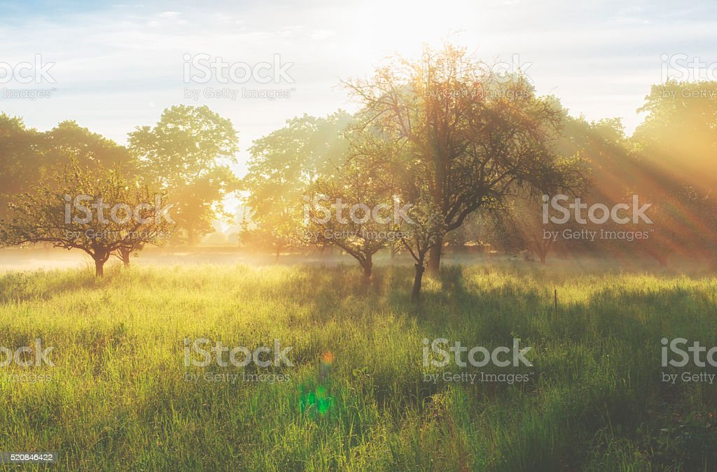 Misty sunrise on the orchard stock photo