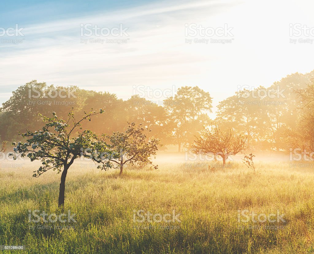 Misty sunrise on the orchard stock photo