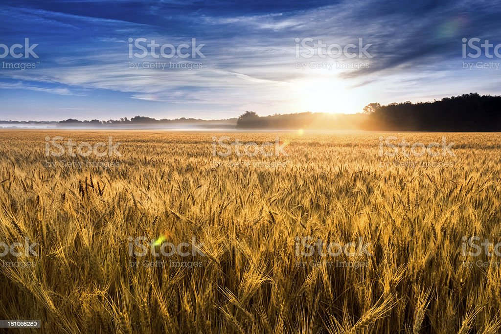 Misty Sunrise Over Golden Wheat Field in Central Kansas stock photo