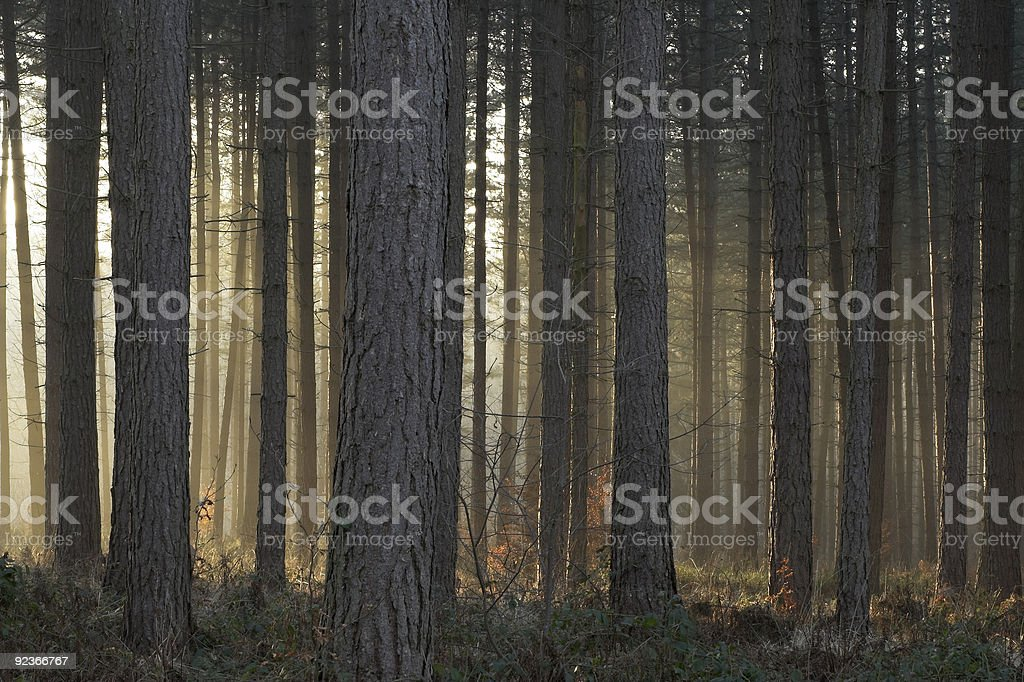 Misty trees lit by setting sun royalty-free stock photo