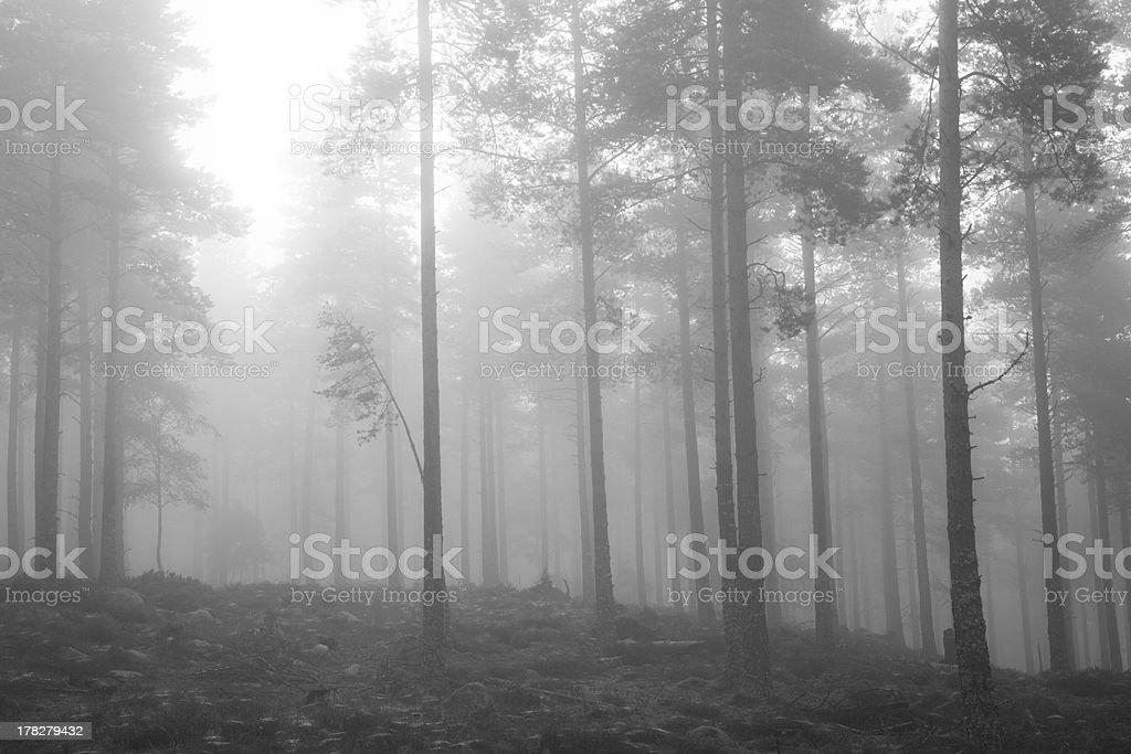 Misty woodland royalty-free stock photo