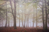 Misty woods in Autumn / Fall.
