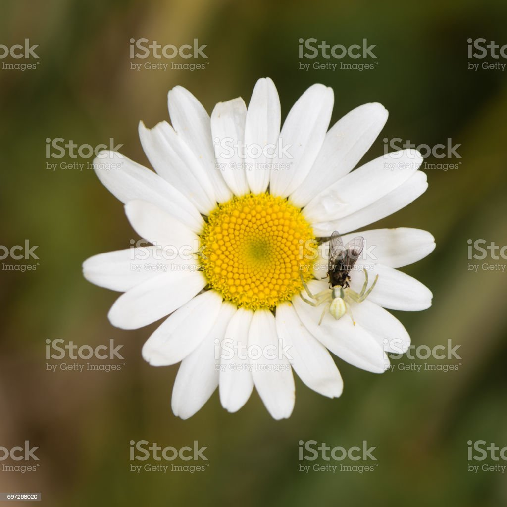 Misumena vatia crab spider with fly on daisy stock photo
