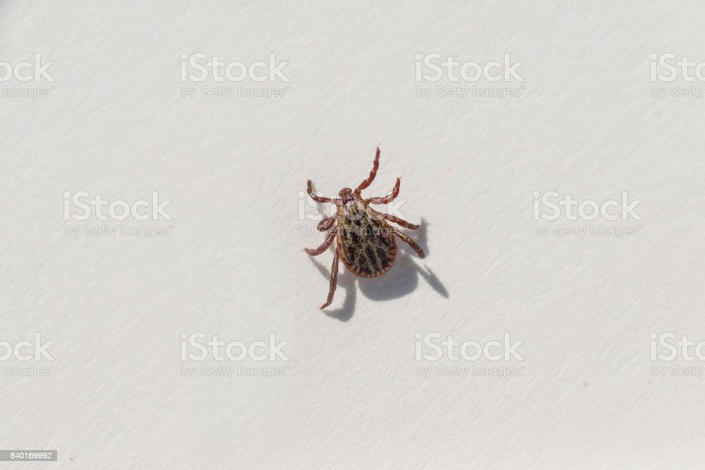 Mite on white background stock photo