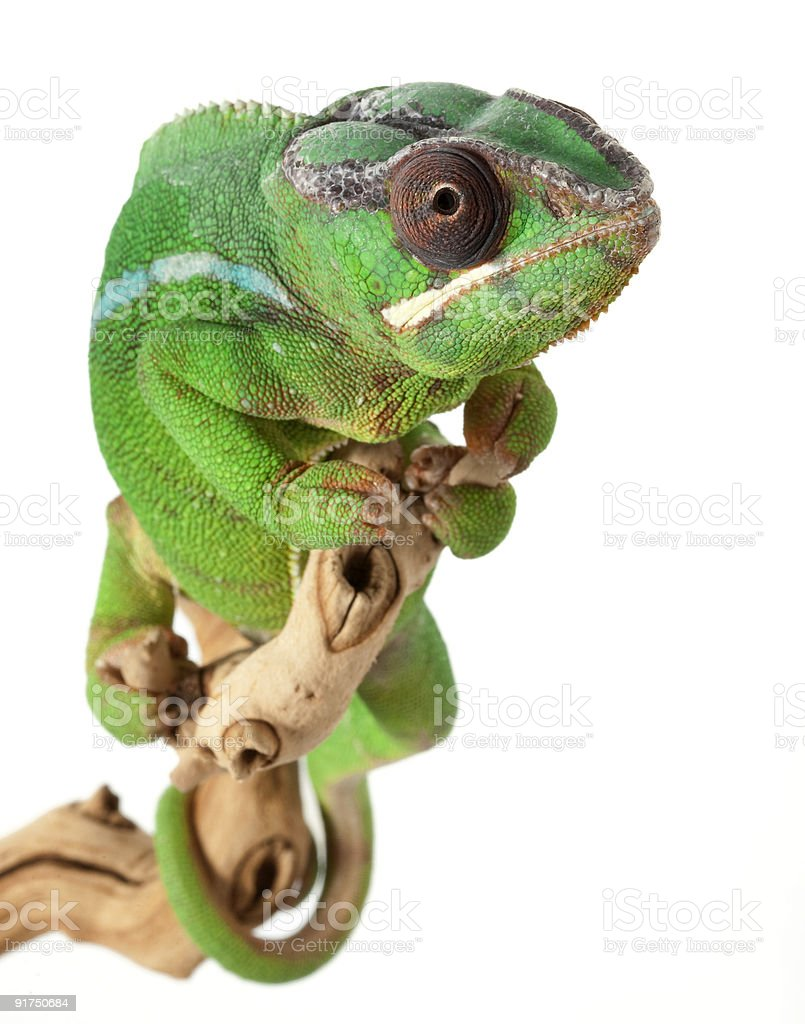 Mitzio Panther Chameleon royalty-free stock photo