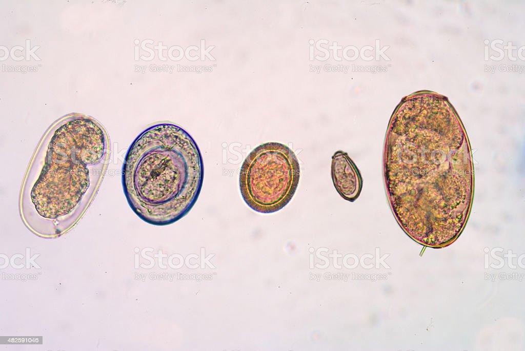 Mix eggs of parasite. stock photo