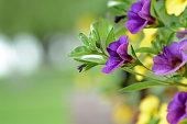 Mix flower petunia wallpaper. Mix of petunia flowers in