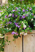 Mix of Bacopa and Scaevola flowers in a Basket.