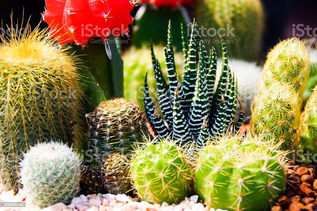 Mix of Cactus Plants stock photo