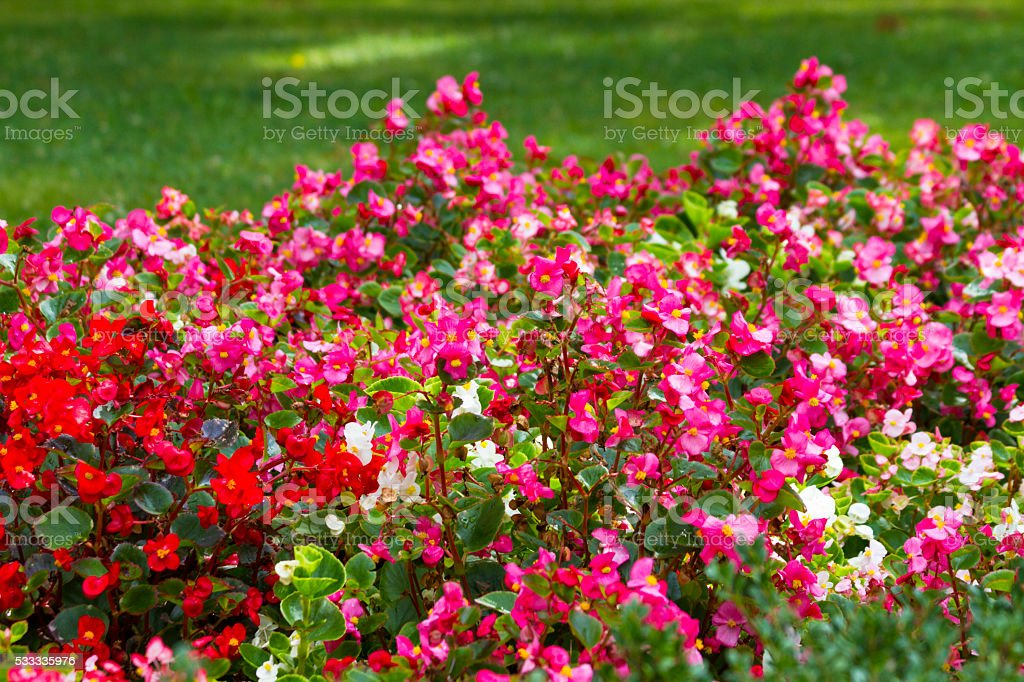 Mixed Annual Begonia Flowerbed stock photo