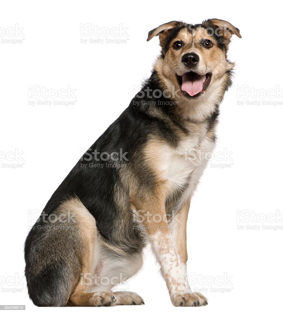 Mixed Australian shepherd dog, 8 months old, sitting stock photo