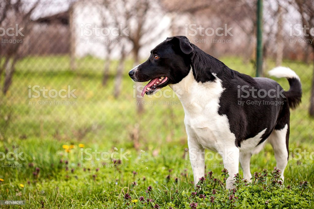 Mixed breed, black and white dog showing off stock photo