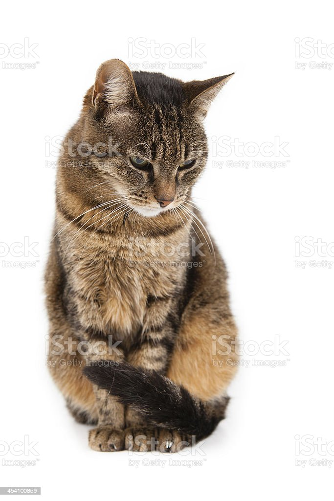 Mixed breed cat, 6 months old, sitting stock photo