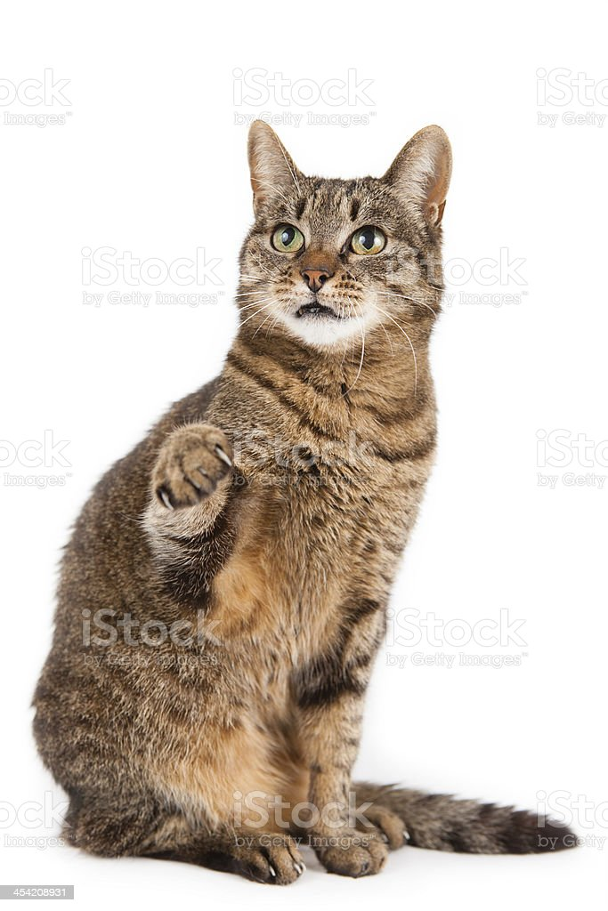 Mixed breed cat with paw in air stock photo