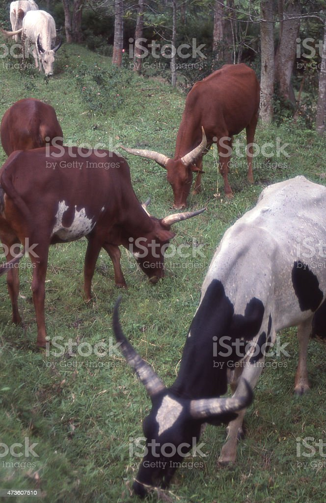 Mixed breed cattle Ankole Hostein and Jersey Rwanda Africa stock photo