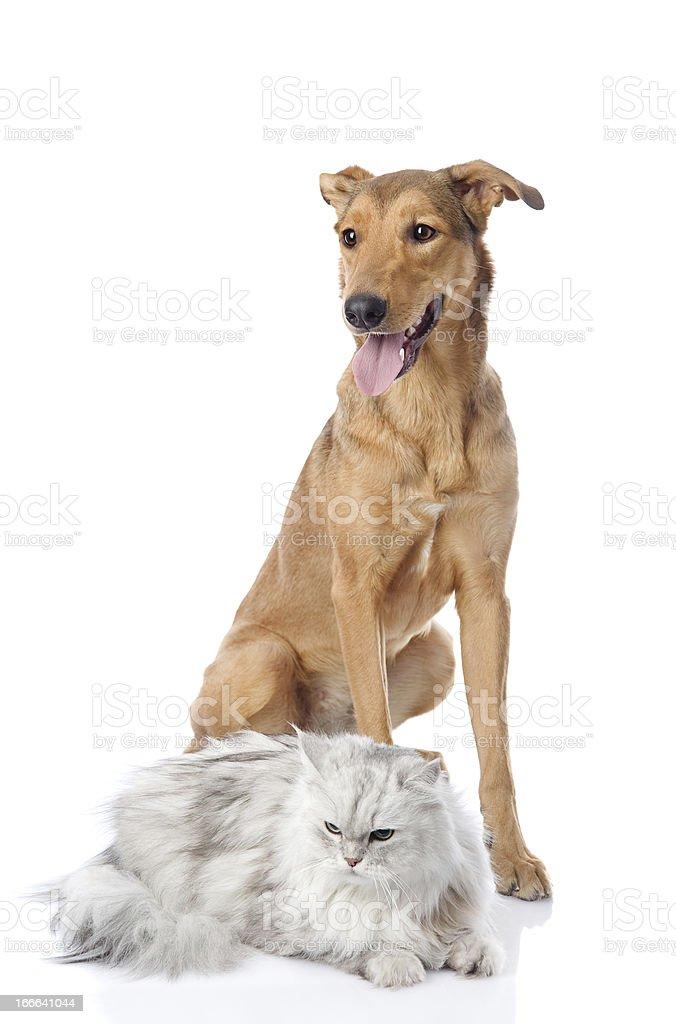 mixed breed dog and persian cat royalty-free stock photo