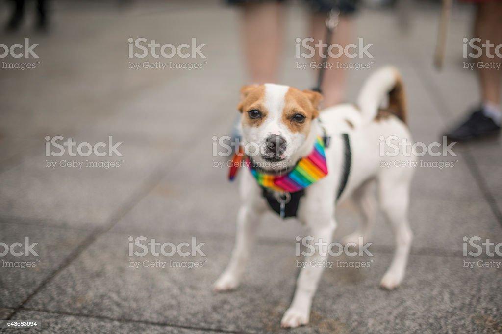 Mixed breed dog at Gay Pride stock photo