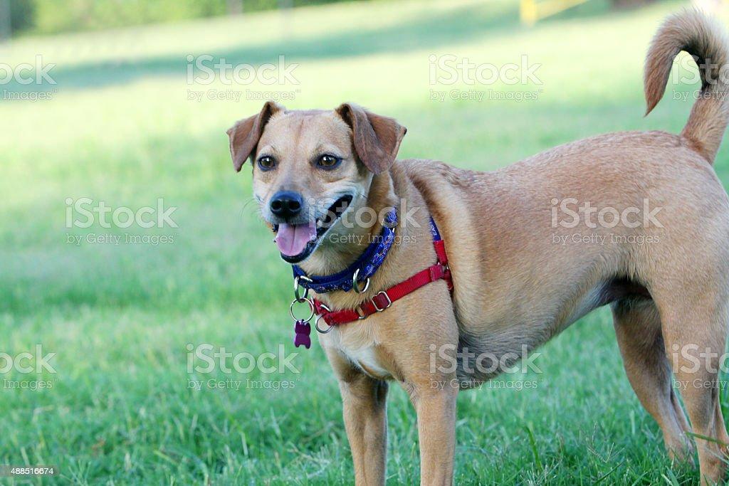 Mixed Breed Dog at the Dog Park stock photo