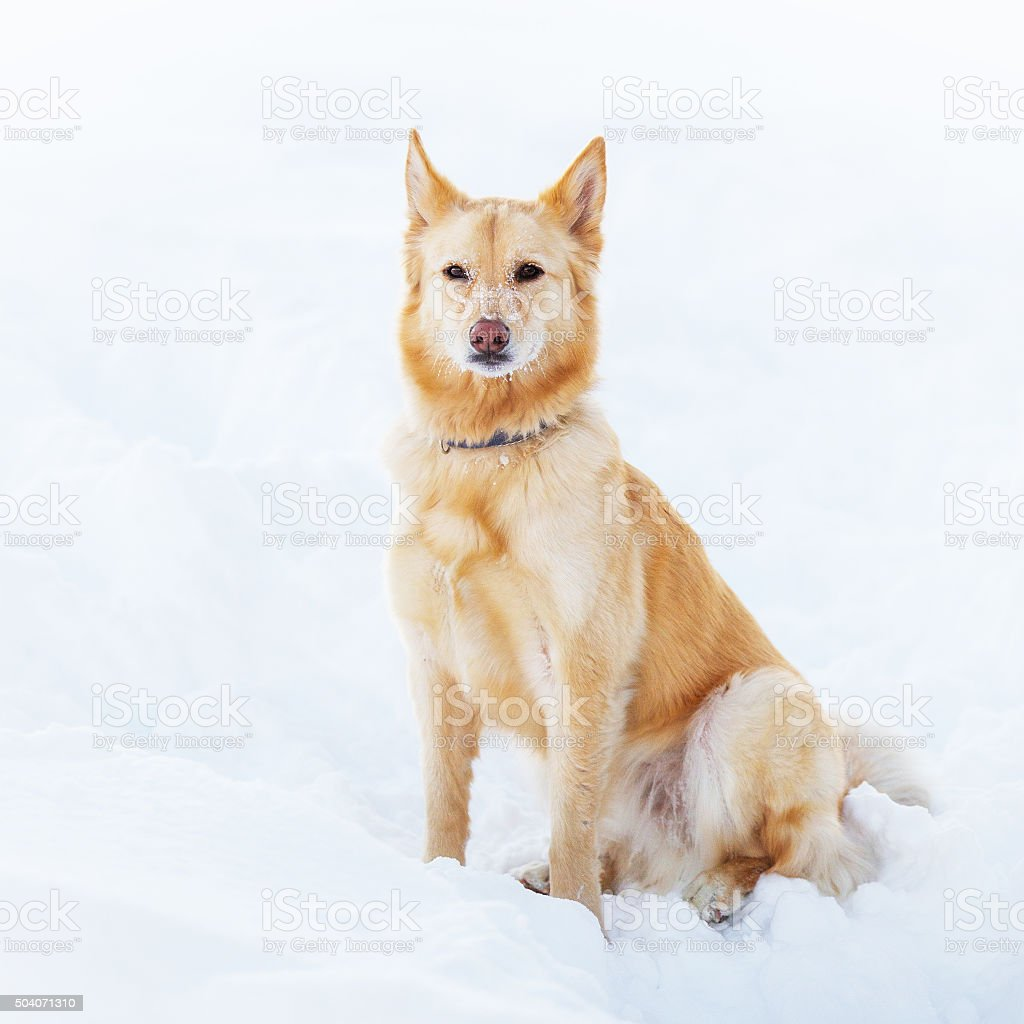 Mixed breed dog in the snow stock photo