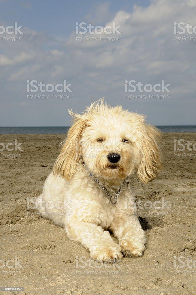 Mixed breed dog on beach (Wheaton/Schnauzer) royalty-free stock photo