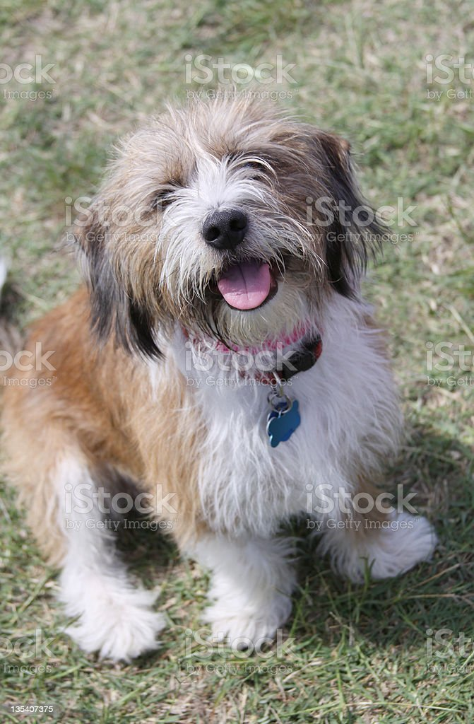Mixed Breed Dog Wearing Tags royalty-free stock photo