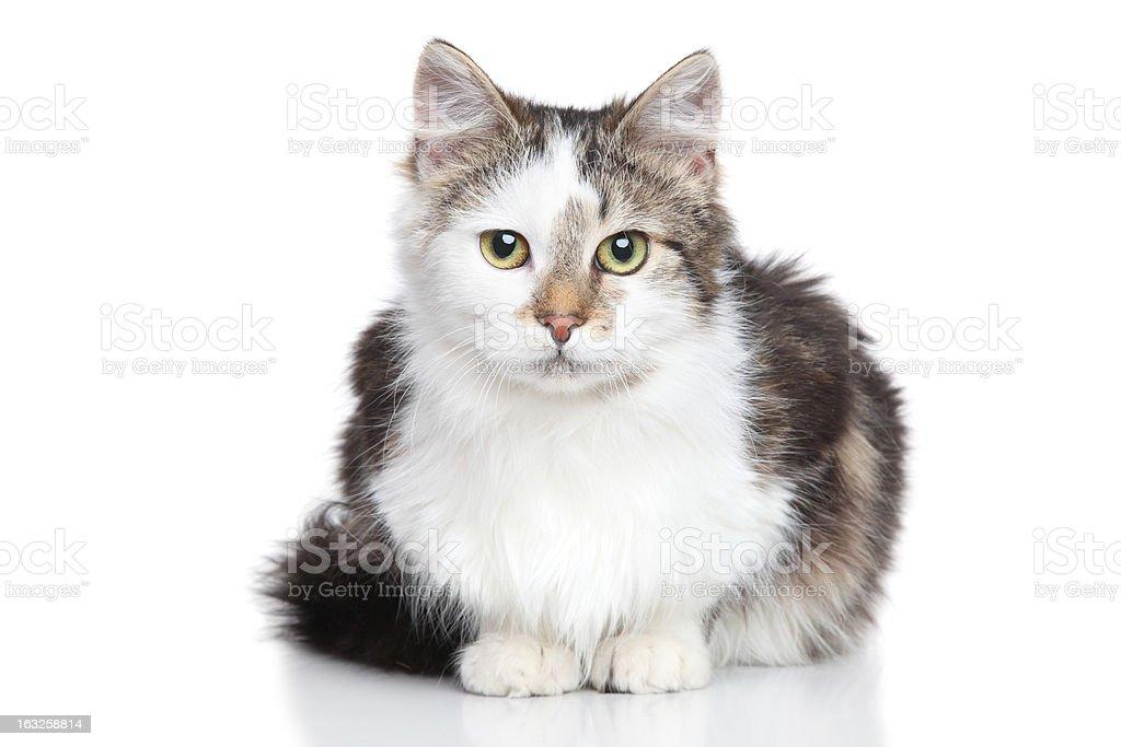 Mixed breed Domestic cat royalty-free stock photo