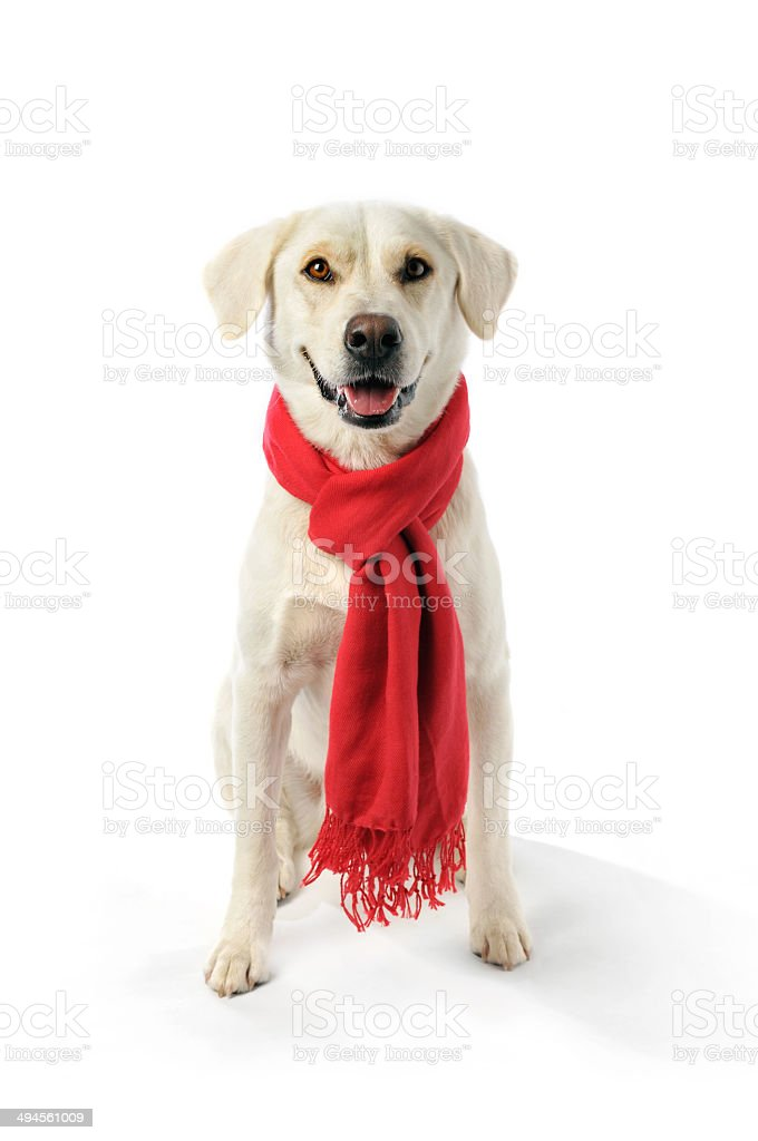 Mixed Breed Labrador Wearing a Red Scarf Around His Neck stock photo