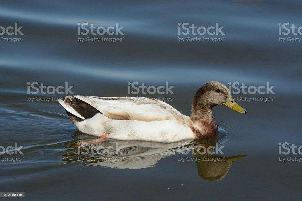 Mixed breed mallard duck living in the wild stock photo