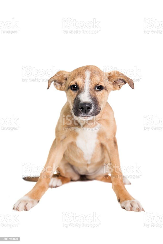 Mixed breed puppy on white royalty-free stock photo