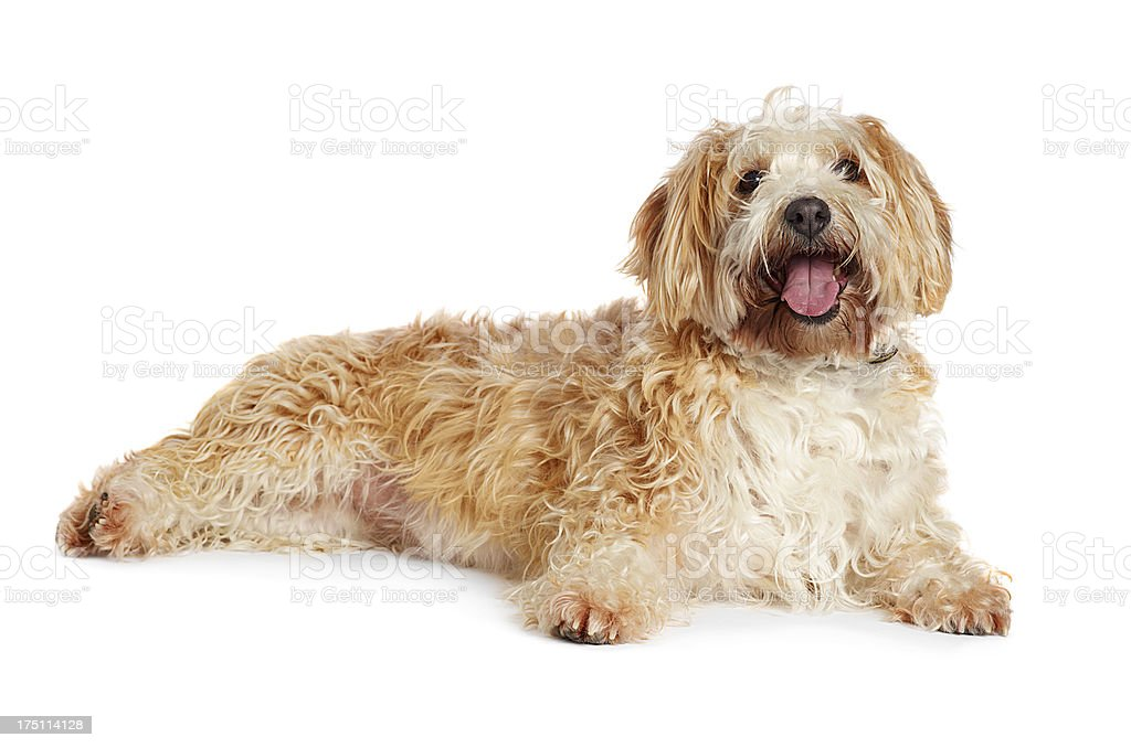 Mixed breed terrier stock photo