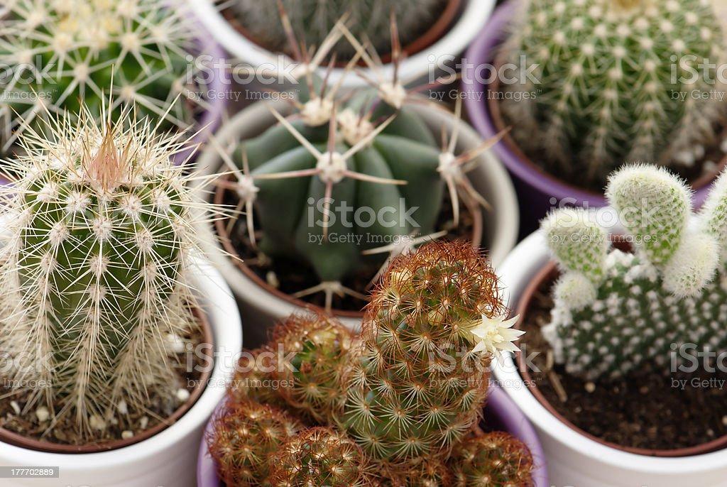 Mixed cacti royalty-free stock photo