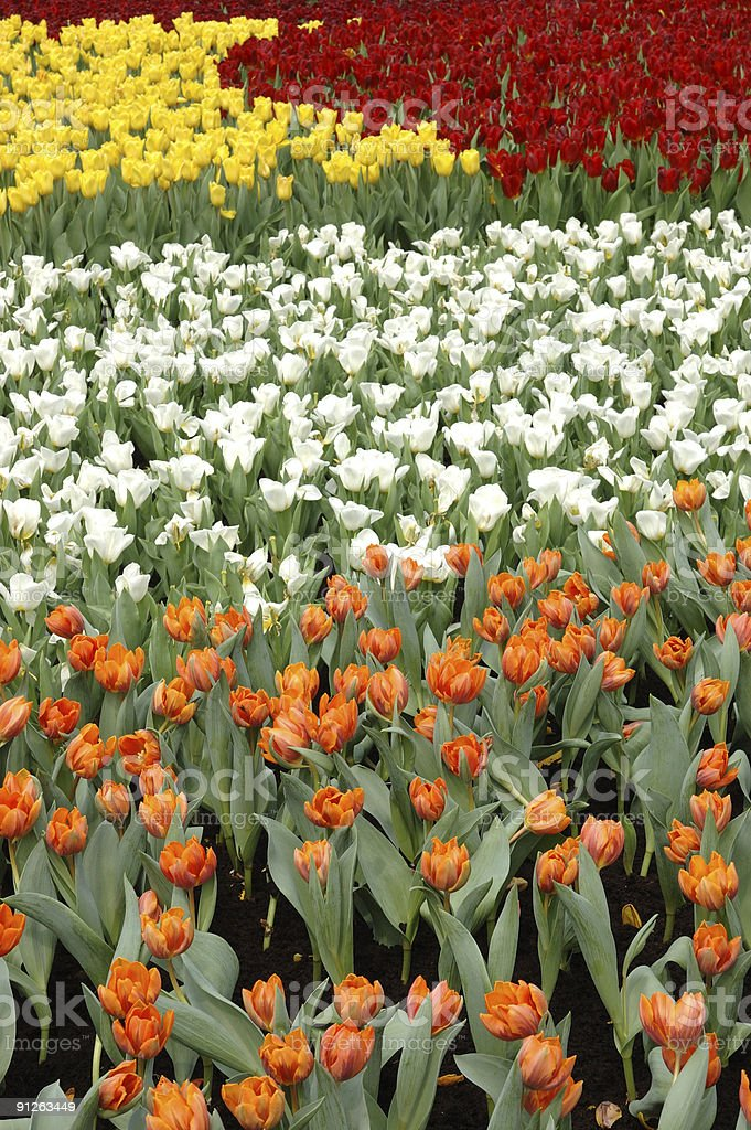 Mixed color tulips stock photo