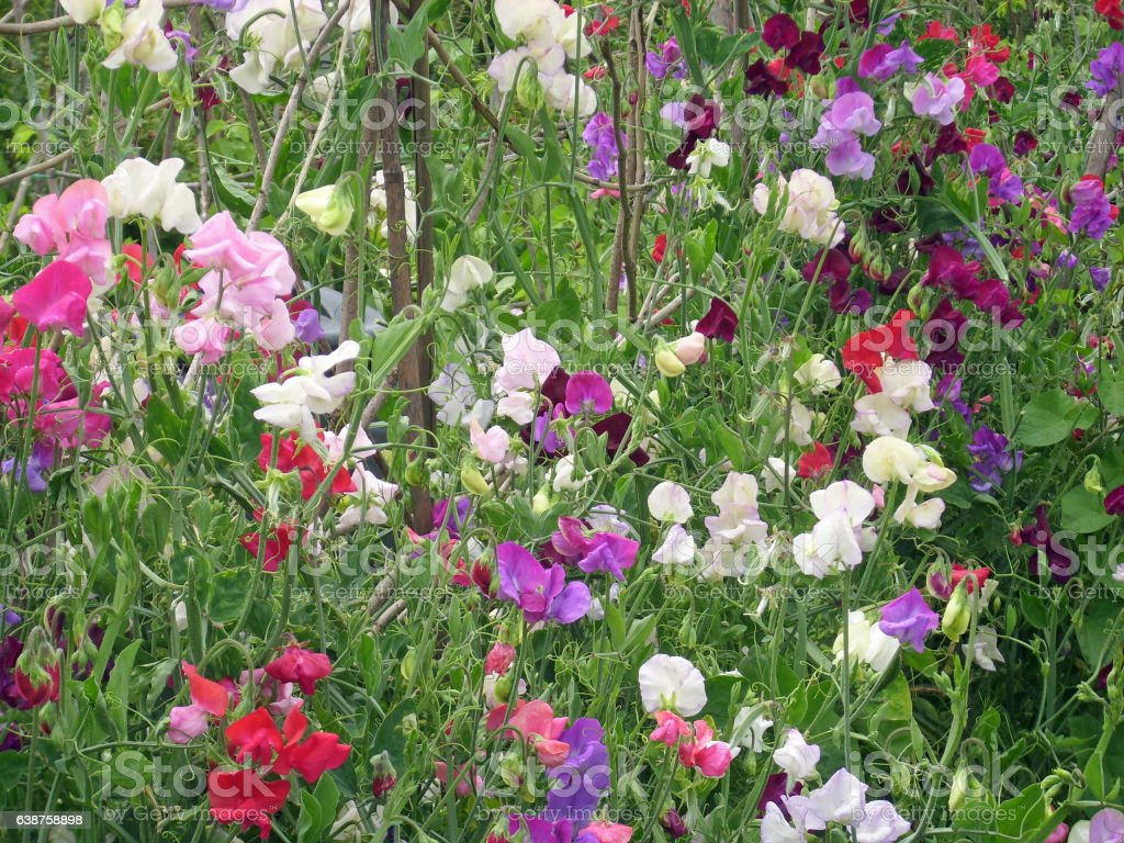 Mixed colour sweet pea flowers stock photo