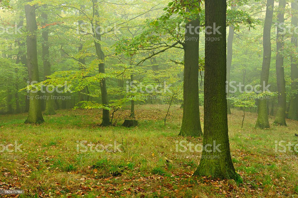 Mixed Deciduous Forest of mainly Oak Trees in Early Autumn royalty-free stock photo